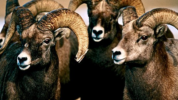Bighorn Sheep Wildlife - Pinedale, WY