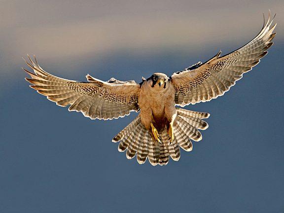 Falcon Wildlife - Pinedale, WY