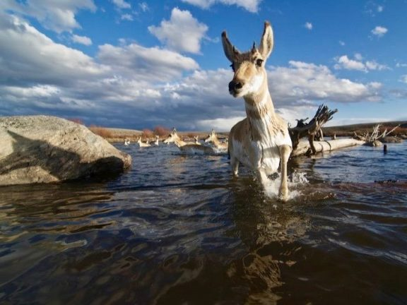Pronghorn Wildlife - Pinedale, WY