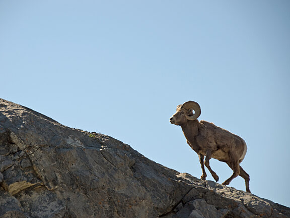 Big Horn Sheep Hunting Visit Pinedale WY