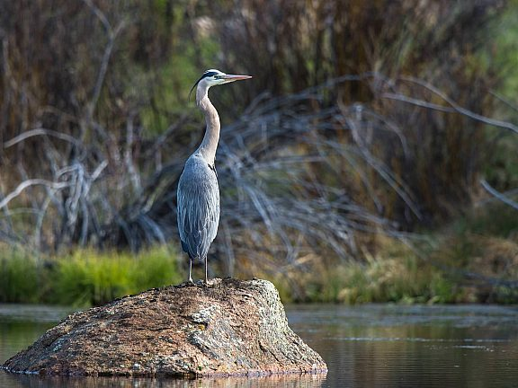 Blue Heron at the CCC Ponds - Pinedale, Wyoming